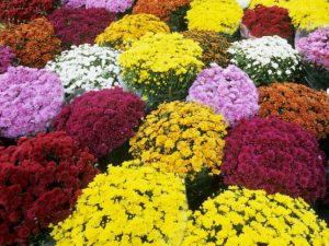 mums - multicolored plants