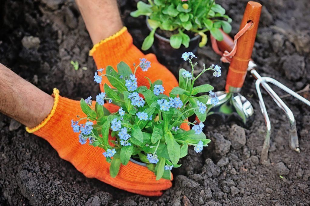 Gardeners hands planting flowers Forget-me-not in garden