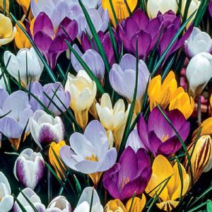 Spring crocuses in purple, yellow, white, lavender