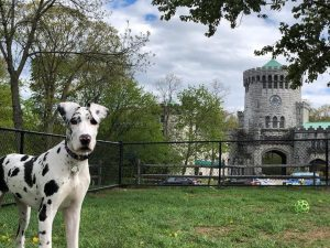 A Harlequin Dane in the Dog Run with Castle Gould in the distance